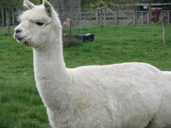 Alpaca Fur Blanket white alpaca