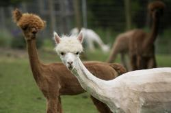 Sheared alpacas at Columbia Mist Alpacas in Woodland. (Steven Lane/The Columbian) Buy this photo