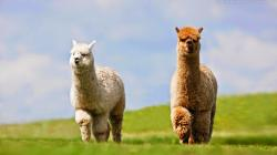 Alpaca HD Wallpapers