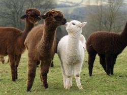 Alpaca Natural Fibres >>