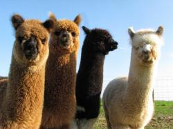 Adorable Alpaca Wallpaper · Alpaca Wallpaper · Alpaca Wallpaper ...