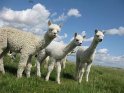 Adorable Alpaca Wallpaper; Alpaca Wallpaper; Alpaca Wallpaper ...