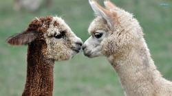 Alpacas wallpaper 1920x1080