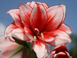 If you know anything about amaryllis, you might be thinking – why is Amanda talking about that Christmas flower ...