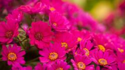 Pink Flowers. Amazing Pink Flowers Wallpaper