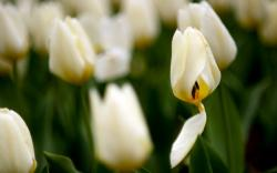 Amazing Tulips Field Nature Photo