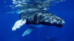 Whale Wallpaper