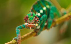 Amphibians, a chameleon wallpaper 1280x800.