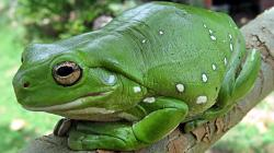 Amphibians animals frogs nature wallpaper
