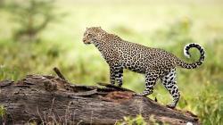 Amazing Amur Leopard Wallpaper ...