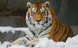 Amur tiger wild cat muzzle wallpaper background