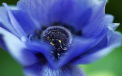 DOWNLOAD: anemone flower blue rose macro free picture 2560 x 1600