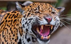 Angry leopard fangs