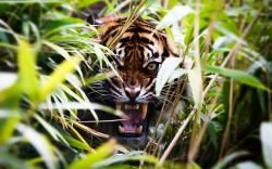 Angry tiger in bush