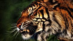 Angry Tiger wallpaper