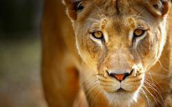 Tiger close up pictures of Animal desktop background