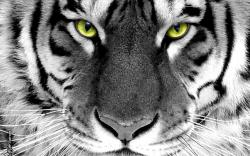 Close Up Animals Cute Wallpapers Tiger mobiles device
