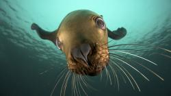 Download Steller Sea Lion wallpaper (1920x1080)