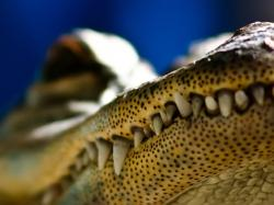 The crocodile mouth close up wallpaper Animal desktop background