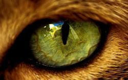 Download high quality 1920 x 1200 Green animal eye Wallpaper.