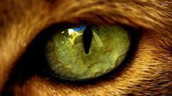 Cat Eye Wallpaper Animal Wallpapers