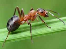 Ant, Animal Messages, Totems, Spirits, spirit-animals.com