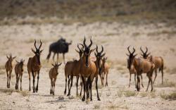 Antelopes Africa Nature