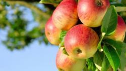 Apple Tree ...