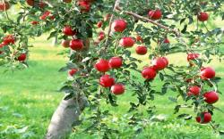 DOWNLOAD: apple-tree free picture 2560 x 1600