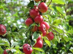 ... Apple Tree Wallpaper ...
