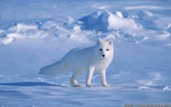 Hd Arctic Fox Wallpaper Download Free 1920x1080PX ~ Snow Fox .