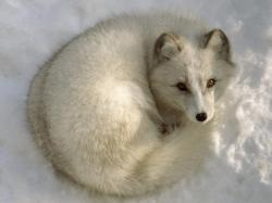 The Arctic fox has special evolutionary adaptations to ensure it thrives in its environment. The Arctic fox is an endotherm which means it controls its own ...