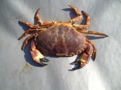 File:Arthropods crab.jpg