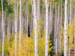 Autumn Aspen Forest Free Desktop Background Wallpaper Image