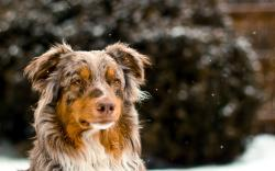 Australian Shepherd Wallpaper HD