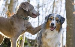 Australian Shepherd Dog Iphone Wallpaper