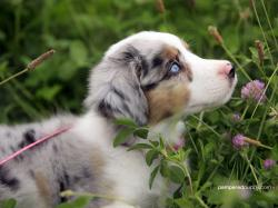 Mini Australian Shepherd Dogs