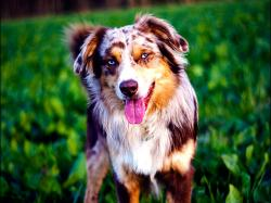 Australian Shepherd Dog 27 HD Image