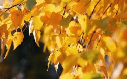 Autumn Birch Leaves Wallpapers Pictures Photos Images. «