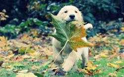 autumn animals leaves grass dogs puppies adventure golden retriever fallen leaves wallpaper background