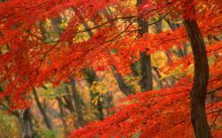 Autumn japan tree
