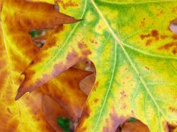 Autumn Kew Garden Benches · Autumn Leaf Closeup