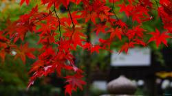 Autumn Leaves Of Red Maple Tree Wallpaper #101518 – Resolution