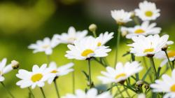 Awesome Daisies Wallpaper