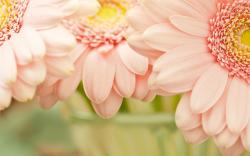 Gerbera Daisy Awesome Flowers HD Wallpaper