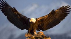 Awesome Eagle Wallpaper HD