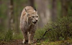 Views: 298 Cool Lynx Wallpaper 22805