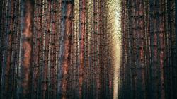 Awesome Pine Forest Wallpaper