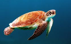 Peaceful Swimming Sea Turtle Blue HD Wallpaper