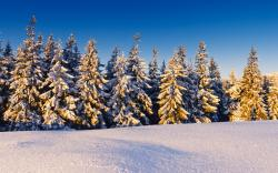 Awesome Snow Pine Wallpaper
